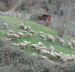 brebis en Cevennes